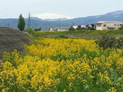 菜の花と月山