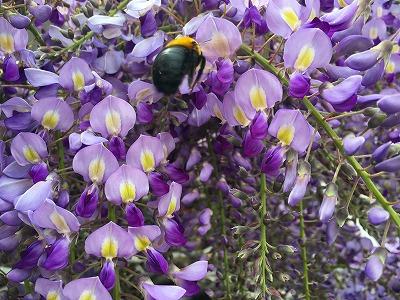 藤の花と熊ん蜂