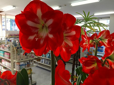 アマリリスの花