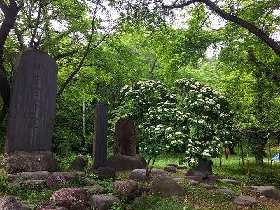 ミズキ咲く若木山公園