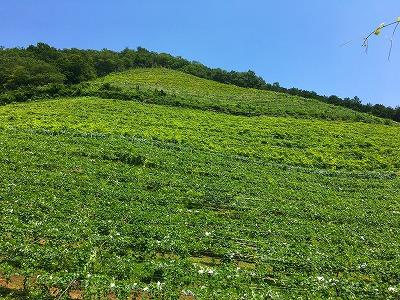 ココ・ファーム・ワイナリーのブドウ畑