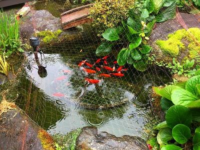 お池の金魚