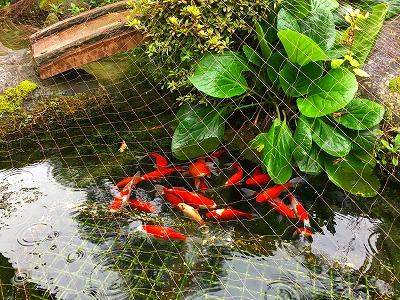 金魚は悠々としています